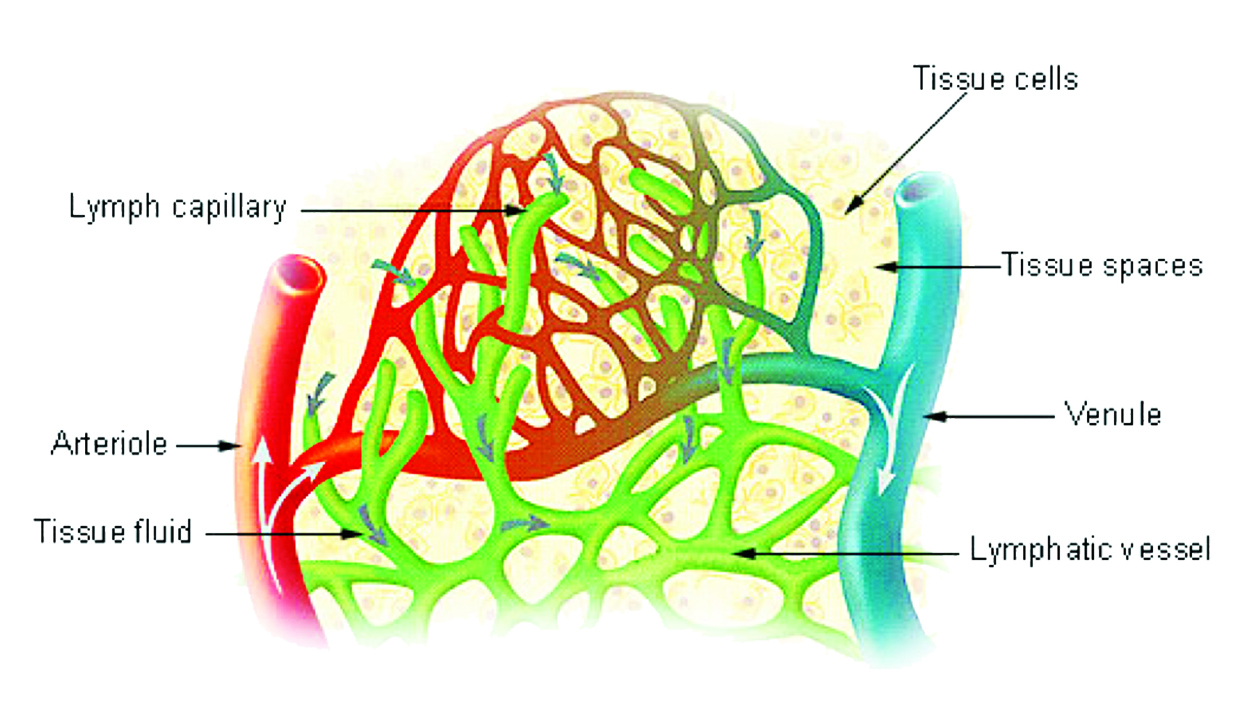 Lymph Capillaries In Tissue Spaces Buddies For Life Magazine